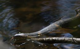 Broad-Banded Water Snake Swimming Royalty Free Stock Image