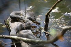 Broad-Banded Water Snake Slithering into Water Stock Photos