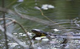 Broad-Banded Water Snake Swimming Stock Image