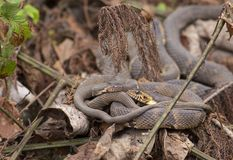 Broad-banded Water Snakes coiled up together. A pair of Broad-banded Water Snakes coiled up together in some leaf litter in Baton Rouge, Louisiana royalty free stock images