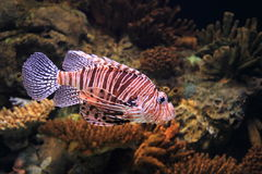 Broad barred firefish Royalty Free Stock Photo