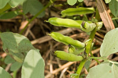 Broad bean Royalty Free Stock Photo