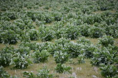 Broad bean field. This is a picture of broad bean field Royalty Free Stock Photography