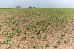 Broad bean field close view Stock Image