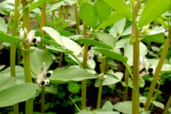 Broad bean plants Stock Image