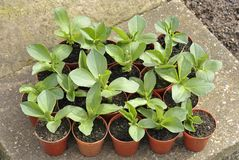 Broad bean plants stock images