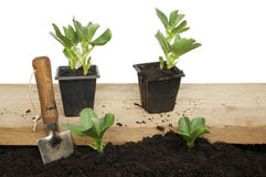Broad bean plants Royalty Free Stock Photography