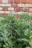 Broad bean plants in vegetable garden Stock Photos