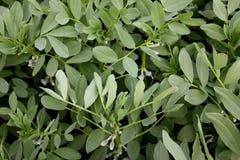Broad bean Pusa Sumeet, Fava bean Pusa Sumeet Royalty Free Stock Photo