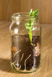 Broad Bean Seedling. Germination of a broad bean seed seen through a jam jar Royalty Free Stock Images
