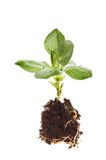 Broad bean seedling. And root ball isolated against white Stock Photo