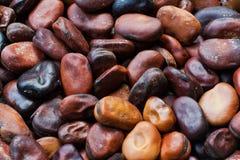 Broad bean seeds Stock Image