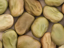 Broad bean seeds - red flower variety. Vicia faba. Aka fava. Stock Image