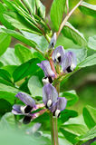 Broad Bean (Vicia faba) in bloom Stock Photos