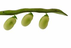 Free Broad Beans Royalty Free Stock Photography - 9254937