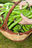 Broad Beans Basket Stock Photos