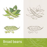 Broad beans Stock Images