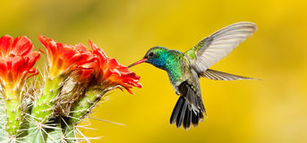 Broad Billed Hummingbird. Panoramic Composition of Adult Male Broad Billed Hummingbird Feeding at Cactus Flower Stock Photos