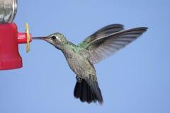 Broad-billed Hummingbird (Cynanthus latirostris) Royalty Free Stock Photo
