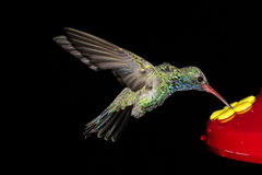 Broad-billed Hummingbird (Cynanthus latirostris) Stock Images