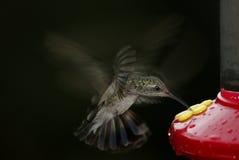 Broad-billed Hummingbird (Cynanthus latirostris) Royalty Free Stock Images