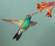 Broad-billed Hummingbird Stock Images