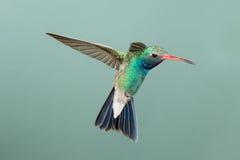 Broad-billed Hummingbird Stock Photo