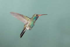 Broad-billed Hummingbird hovering Royalty Free Stock Images
