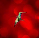 Broad Billed Hummingbird. Royalty Free Stock Image