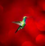 Broad Billed Hummingbird. Stock Image