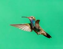 Broad Billed Hummingbird Male. Stock Photo
