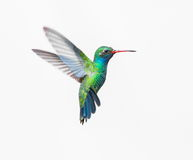 Broad Billed Hummingbird male. Royalty Free Stock Photos
