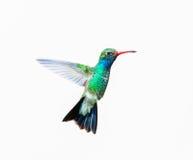 Broad Billed Hummingbird male. Royalty Free Stock Photo
