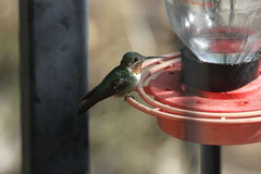 Broad-billed Hummingbird Stock Photos