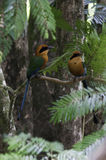 Broad billed Motmot Royalty Free Stock Photos