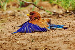 Broad-billed Roller Royalty Free Stock Image