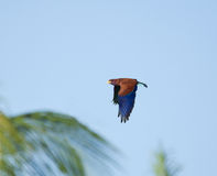 Broad-billed Roller and Palms Stock Photos