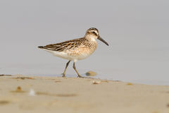 Broad-billed Sandpiper Stock Image
