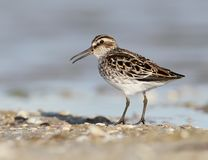 The broad-billed sandpiper Calidris falcinellus close up portrait. Royalty Free Stock Images