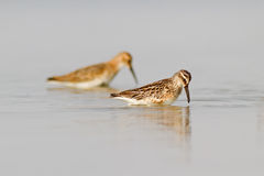 Broad-billed Sandpiper And Dunlin Royalty Free Stock Images