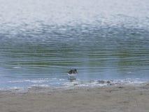 Broad-billed Sandpiper, Limicola or Calidris falcinellus small shorebird at sea shoreline portrait, selective focus. Shallow DOF stock photography