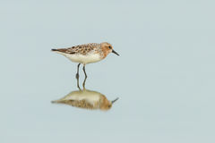 Broad-billed Sandpiper Stock Photo