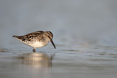 Broad-billed sandpiper, Limicola falcinellus Stock Photography