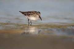 Broad-billed sandpiper, Limicola falcinellus Royalty Free Stock Image