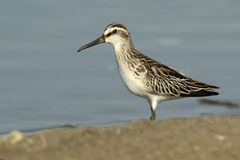 Broad-billed Sandpiper Royalty Free Stock Images