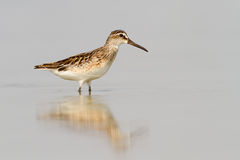 Broad-Billed Sandpiper In Shallow Water Royalty Free Stock Photo