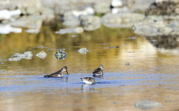 Broad-billed Sandpipers Stock Images