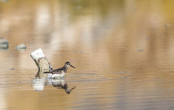 Broad-billed Sandpipers Royalty Free Stock Photo