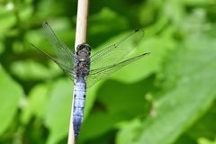 Broad-bodied chaser. Or broad-bodied darter on a reed Stock Photos