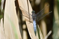 Broad-bodied chaser. Or broad-bodied darter on a reed Stock Images